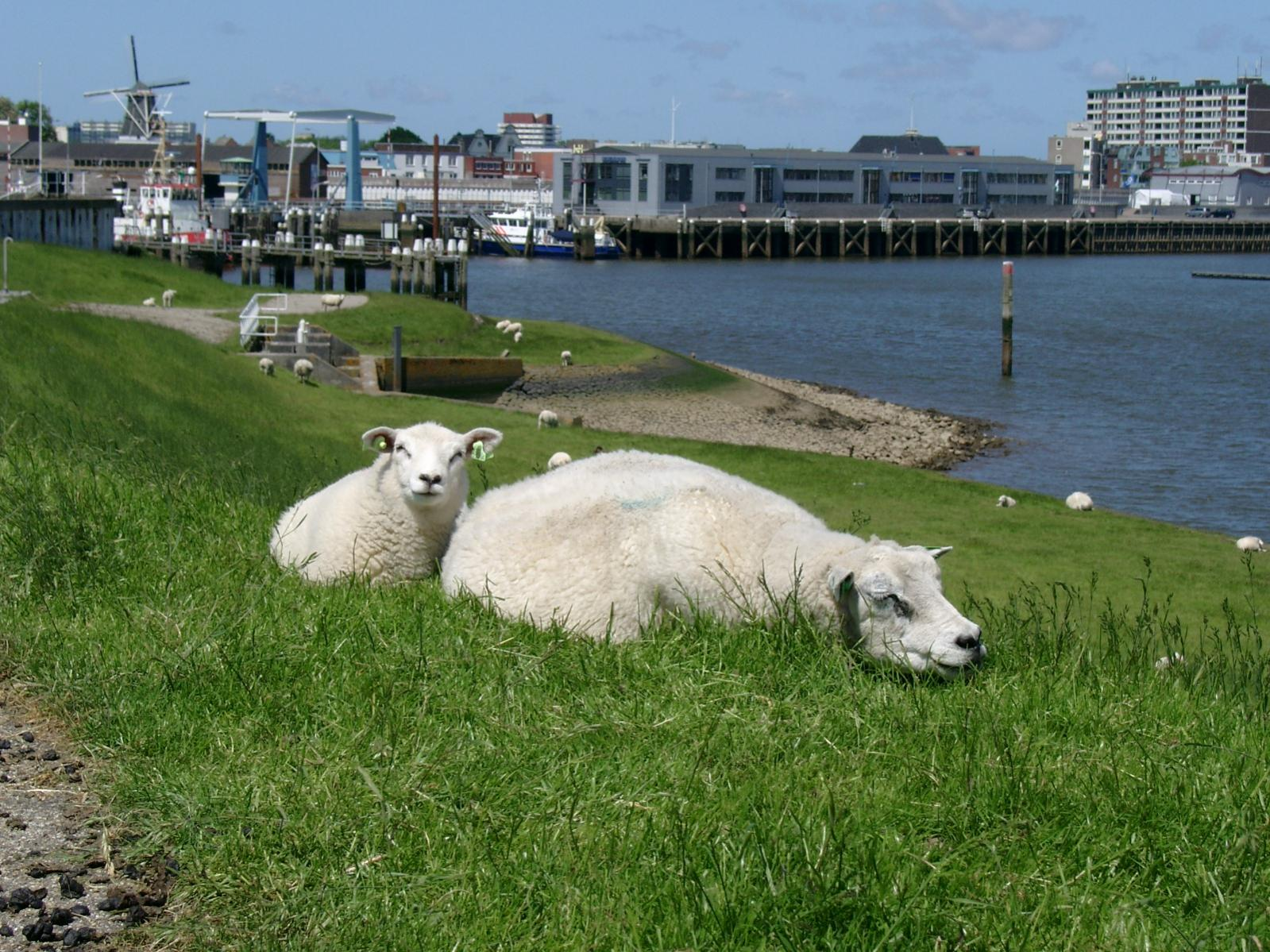 Click image for larger version  Name:NL 020613 Delfzijl sheep spotting 2.jpg Views:304 Size:320.0 KB ID:1323