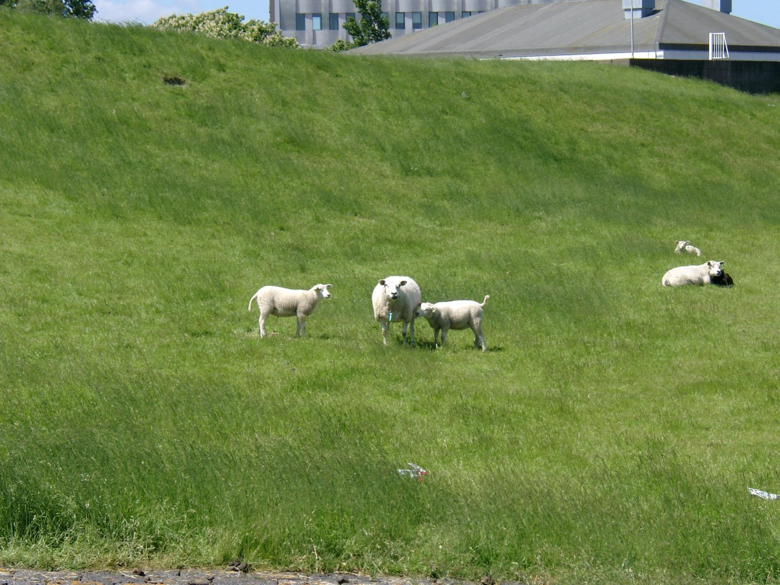 Click image for larger version  Name:NL 020613 Delfzijl sheep spotting 1.jpg Views:305 Size:306.2 KB ID:1324