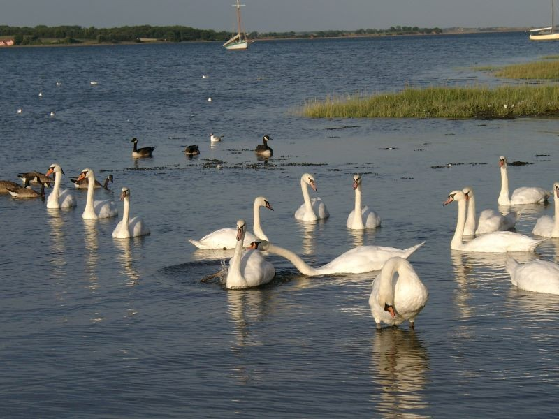 Swans & Geese  on the river Stour by Mistley