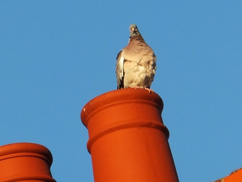Bird on the Chimney pot