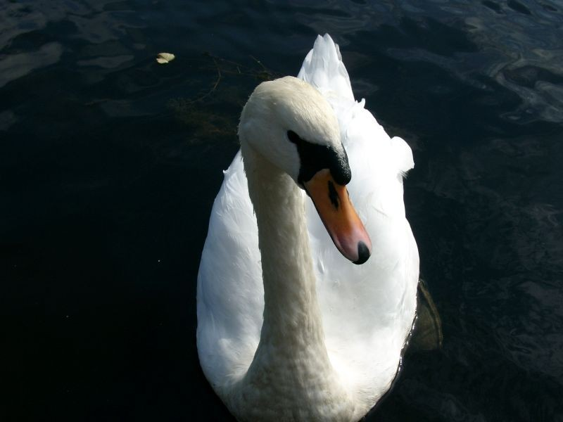 Swan - Montgommery Canal - Welshpool, Wales.