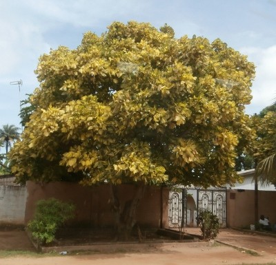 Yellow tree in The Gambia