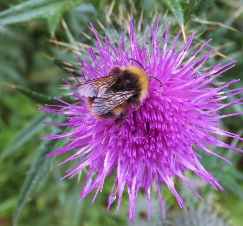 Bee on a thistle.