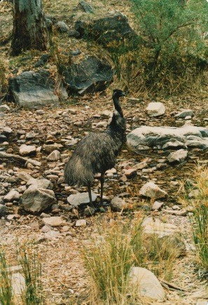 Emu - flightless bird from Australia