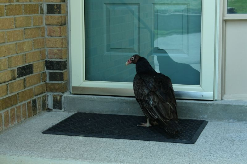 Confused turkey vulture