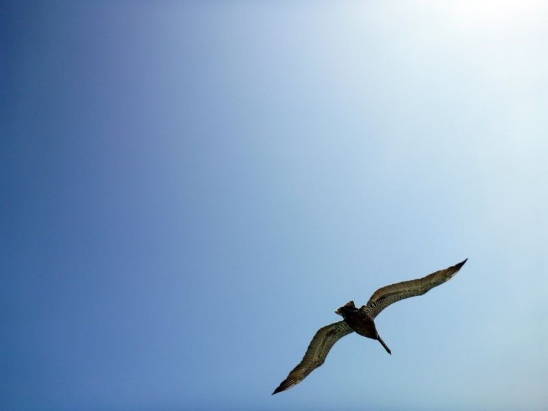 Dive bombed by a Pelican