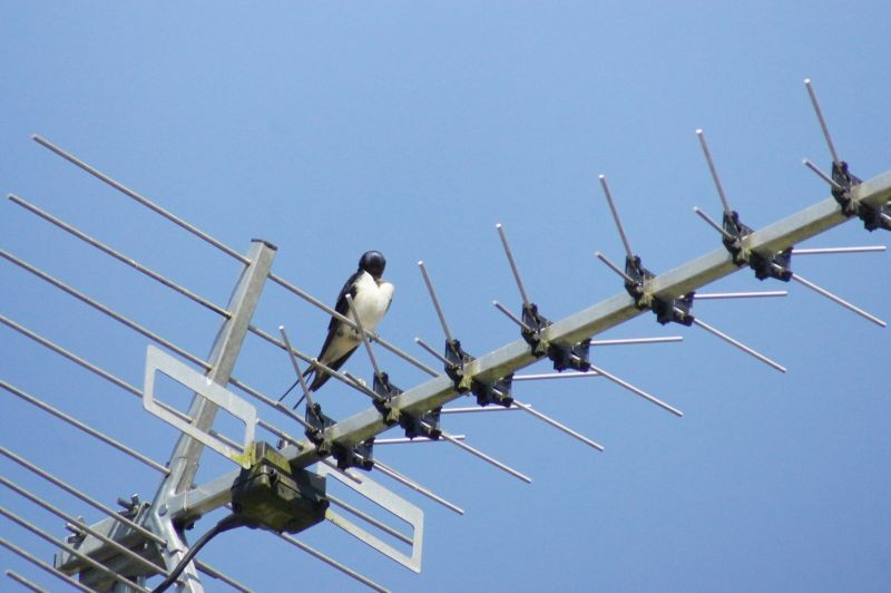 swallow on aerial