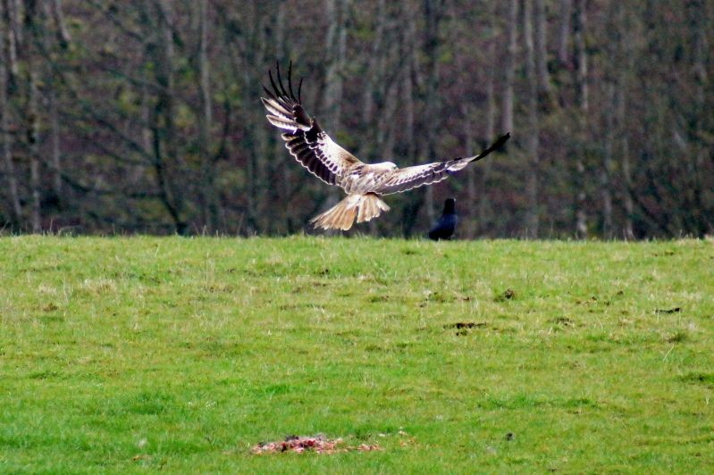 red kite feeding