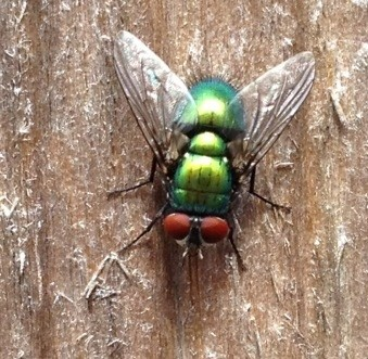 No, Tony It's A Greenbottle, Not A Greenfly!