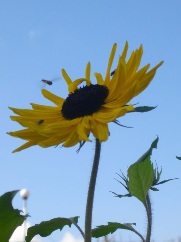 mi sunflower being attacked ..