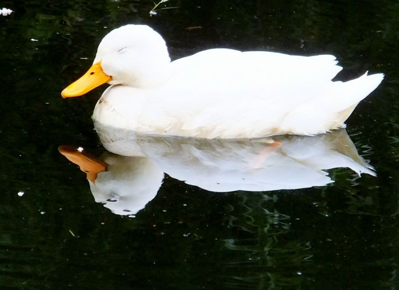 A little White Duck