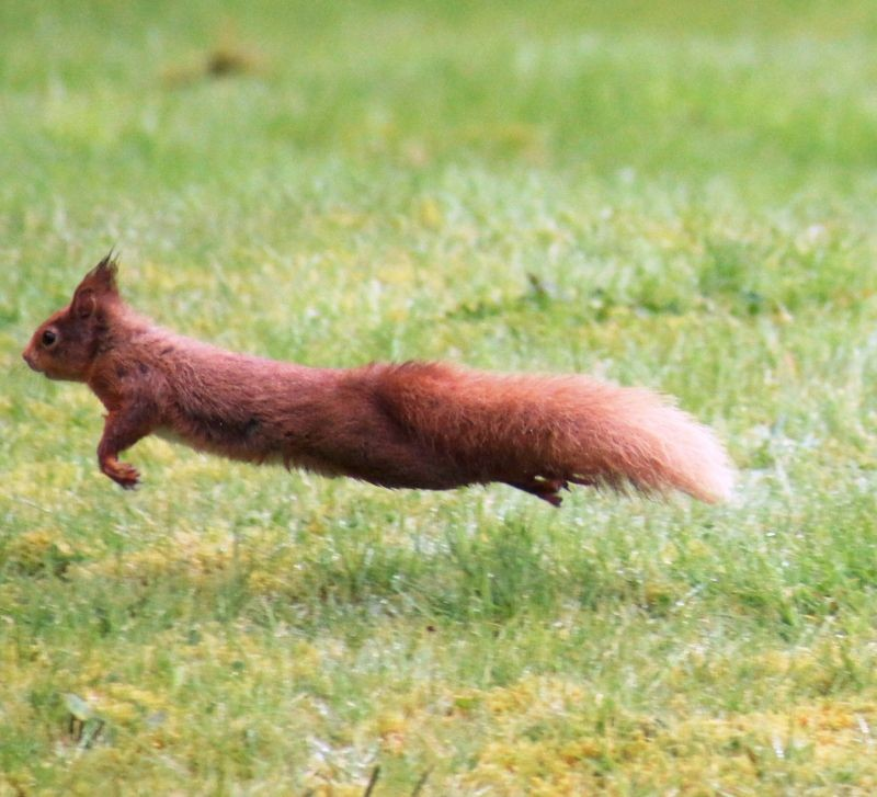 Red Squirrel in garden of holiday cottage