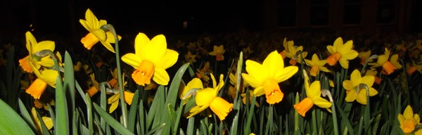 daffodils_by_night