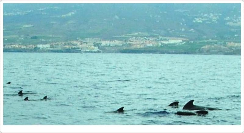 Pod of Bottlenose Whales off Tenerife