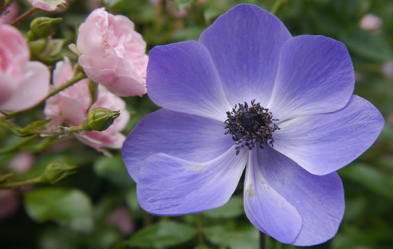 The Rose and the  Anemone