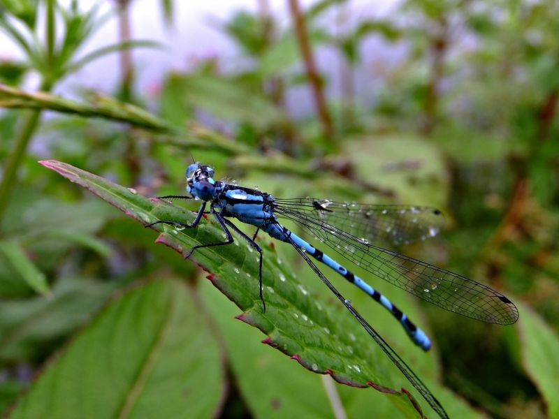 Common Blue Damselfly.