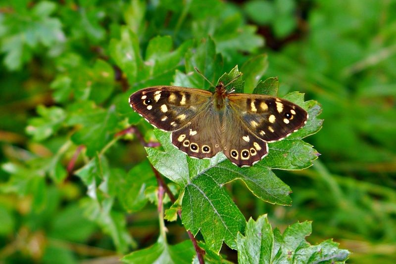 Speckled Wood Buuterfly.