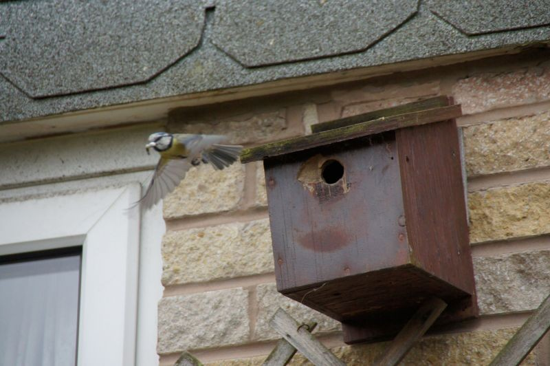 Blue Tit leaving nest box