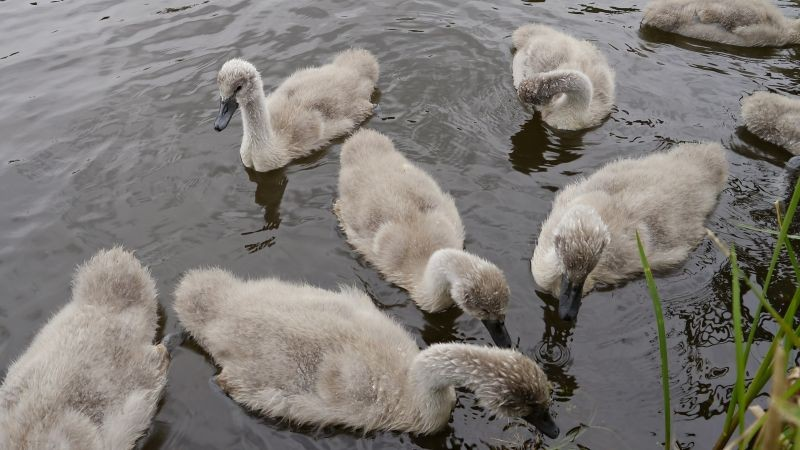 Taking a gander at Cygnets